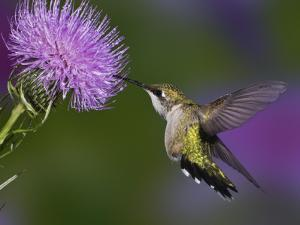 Ruby-Throated Hummingbird in Flight at Thistle Flower by Adam Jones