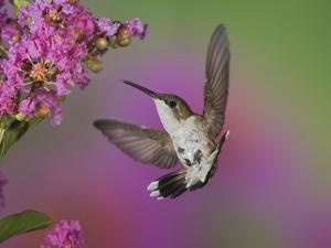 Ruby Throated Hummingbird, Kentucky, USA by Adam Jones
