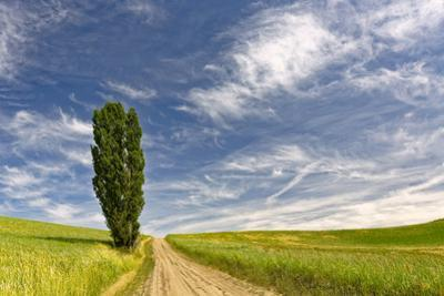 Single tree and rural dirt road, Palouse region of Eastern Washington State by Adam Jones