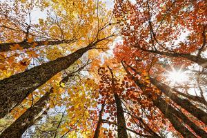 Skyward View of Maple Tree in Pine Forest, Upper Peninsula of Michigan by Adam Jones