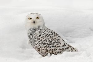 Snowy Owl on snow, Montana, Bubo scandiacus by Adam Jones