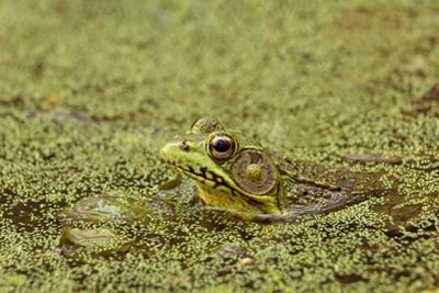 Southern Leopard Frog, Rana sphenocephala, Kentucky by Adam Jones