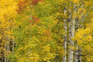 Stand of aspen treesin fall color, Uncompahgre National Forest, Colorado by Adam Jones