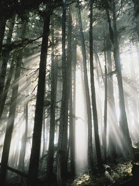 Sunbeams Streaming Through Trees, Mt. Rainier National Park, Washington, USA by Adam Jones