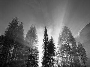 Sunlight Through Pine Forest in Yosemite Valley, Yosemite National Park, California, USA by Adam Jones