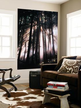 Sunlight Through Trees, Mount Rainier National Park, Washington, USA by Adam Jones