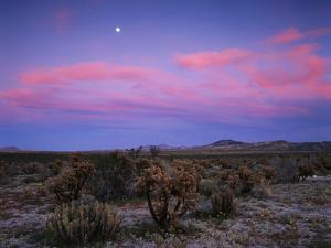 Teddy Bear Cholla Cactus, Anza-Borrego Desert State Park, California, USA by Adam Jones