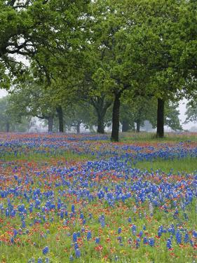Texas Paintbrush and Bluebonnets Beneath Oak Trees, Texas Hill Country, Texas, USA by Adam Jones