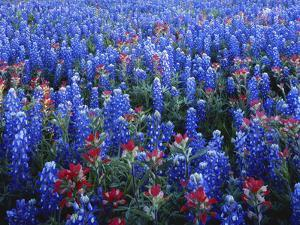 Texas Paintbrush and Bluebonnets Flowers Growing in Field, Texas Hill Country, Texas, USA by Adam Jones