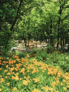 Trees and Daylily Along Little Pigeon River, Great Smoky Mountains National Park, Tennessee, USA by Adam Jones