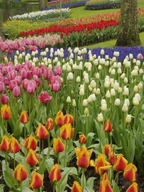 Tulip and Hyacinth Garden, Keukenhof Gardens, Lisse, Netherlands, Holland by Adam Jones