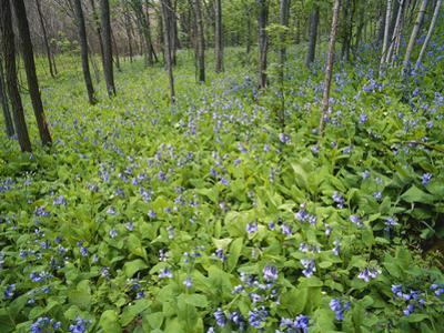 Virginia Bluebells Growing in Forest, Jessamine Creek Gorge, Kentucky, USA by Adam Jones