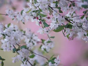 Weeping Cherry Tree Blossoms, Louisville, Kentucky, USA by Adam Jones
