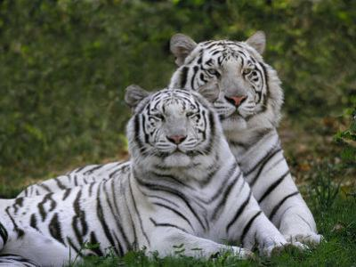 White Bengal Tigers, Panthera Tigris, Asia by Adam Jones