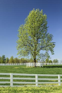 White Horse Fences and Tree in New Spring Foliage, Lexington, Kentucky by Adam Jones