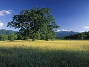 White Oak Tree in Grassy Field, Cades Cove, Great Smoky Mountains National Park, Tennessee, USA by Adam Jones