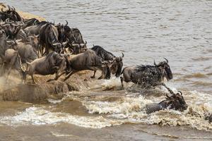 Wildebeest herd crossing Mara River in late summer, Masai Mara, Kenya, Africa by Adam Jones