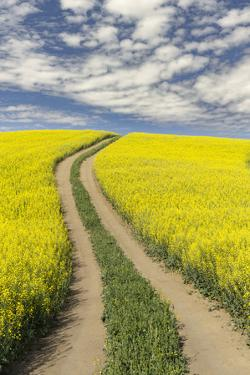 Winding dirt road through yellow field of Canola, Palouse farming region of Eastern Washington Stat by Adam Jones