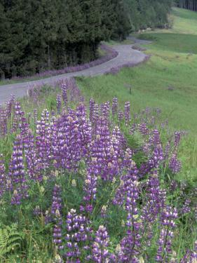 Winding Road Lined with Lupine Flowers, California, USA by Adam Jones
