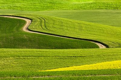 Winding rural dirt road through rolling hills of canola and wheat crops, Palouse region of Eastern  by Adam Jones