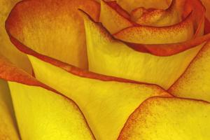 Yellow and red rose. by Adam Jones
