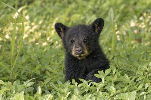 Young black bear cub, Ursus americanus, Cades Cove, Great Smoky Mountains National Park, Tennessee by Adam Jones