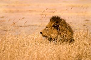 King of the Pride by Adam Romanowicz