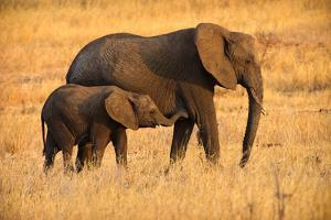 Mother and Baby Elephants by Adam Romanowicz