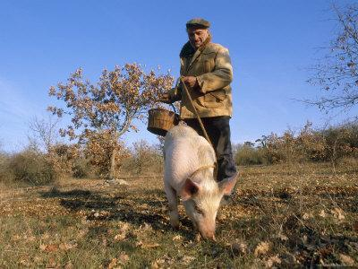 Truffle Producer with Pig Searching for Truffles in January, Quercy Region, France