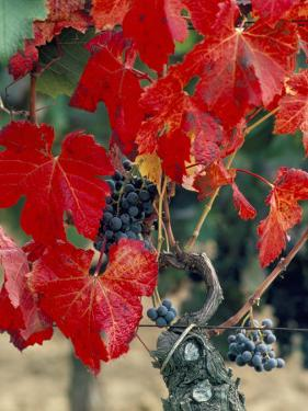 Vine in Autumn, St. Emilion, Bordeaux, France by Adam Woolfitt