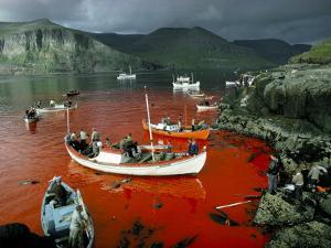 Whaling, Faroe Islands (Faeroes), North Atlantic by Adam Woolfitt