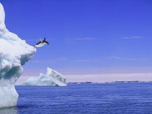 Adelie Penguin Jumping From Iceberg