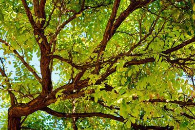 Locust Tree Close-Up Background.