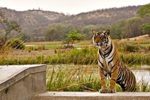 Wild Tiger Walking over a Wall in Ranthambhore by Aditya Singh