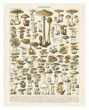 Champignons I by Adolphe Millot