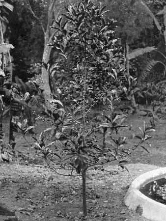 Coffee Tree, Jamaica, C1905