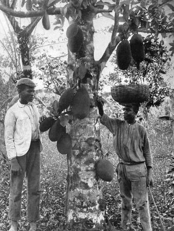 Jackfruit, Jamaica, C1905