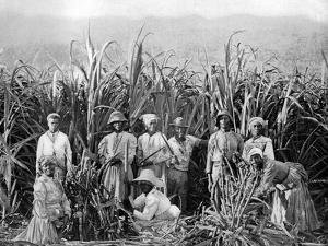 Sugar Cane Cutters, Jamaica, C1905 by Adolphe & Son Duperly