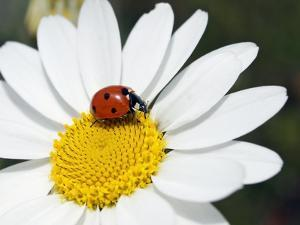 Chamomile Flower And Ladybird by Adrian Bicker
