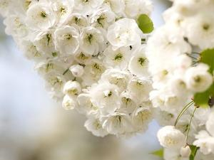 Cherry Blossom (Prunus Sp.) by Adrian Bicker