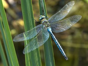 Male Emperor Dragonfly by Adrian Bicker
