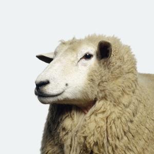 Wooly Sheep by Adrian Burke