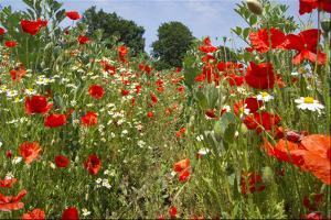 In Among the Poppies and Daisies by Adrian Campfield