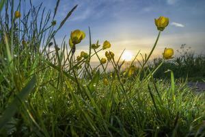 Rising Beyond the Buttercups by Adrian Campfield