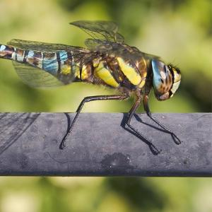 Southern Darter by Adrian Campfield