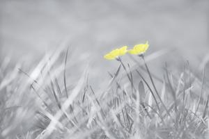 Yellow Buttercups by Adrian Campfield