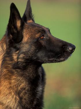 Belgian Malinois / Shepherd Dog Profile Portrait by Adriano Bacchella