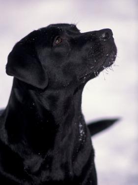 Black Labrador Retriever Looking Up by Adriano Bacchella