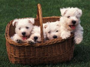 Domestic Dogs, Four West Highland Terrier / Westie Puppies in a Basket by Adriano Bacchella