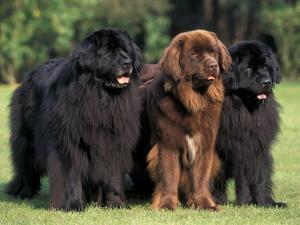 Domestic Dogs, Three Newfoundland Dogs Standing Together by Adriano Bacchella